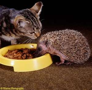 Can Hedgehogs Eat Dry Cat Food